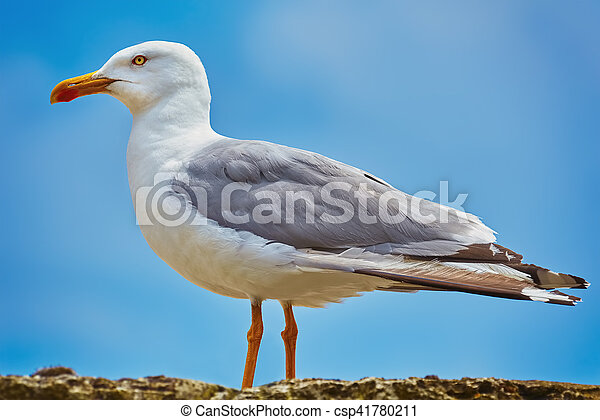 Seagull on the Fence - csp41780211