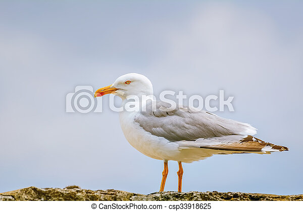 Seagull on the Fence - csp33918625