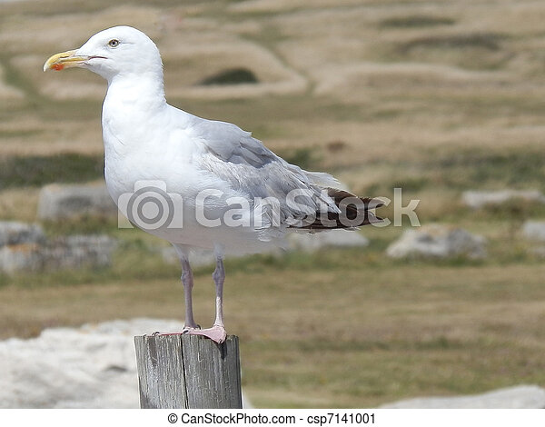 Seagull Sat On A Post - csp7141001