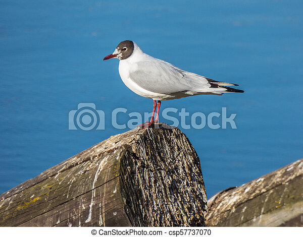 Seagull sitting on log on river - csp57737070