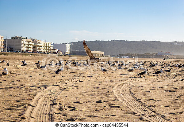 seagulls in the sand at Nazare beach, portugal - csp64435544