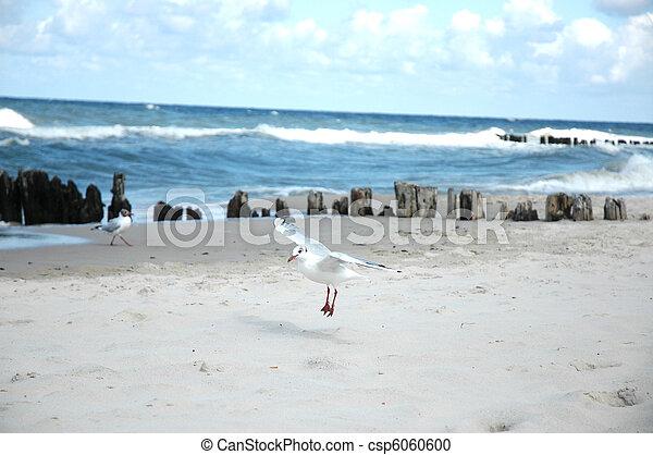 seagulls on the beach - csp6060600