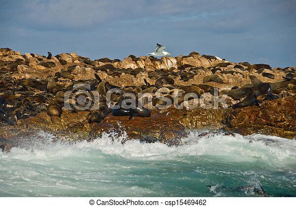 Seal Island/Geyser Rock, Gansbaai, Western Cape, South Africa - csp15469462
