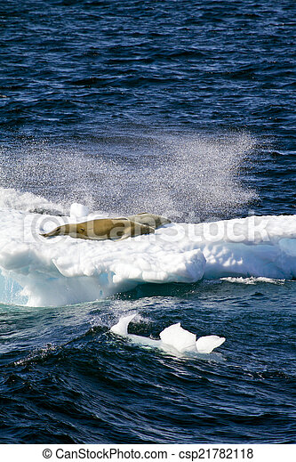Seals On A Piece Of Floating Ice - csp21782118