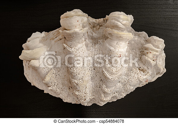 Seashell in Dark Background - csp54884078