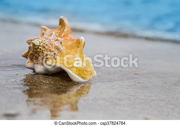 Seashell on sand of the beach in sunlight, background, close up - csp37824784