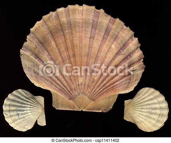 seashell - csp11411402