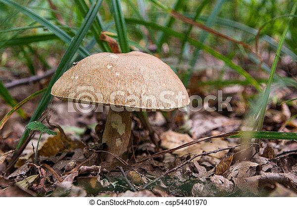 Las setas Porcini crecen en el suelo del bosque en la temporada de otoño. - csp54401970