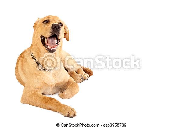 seated Puppy Labrador  - csp3958739