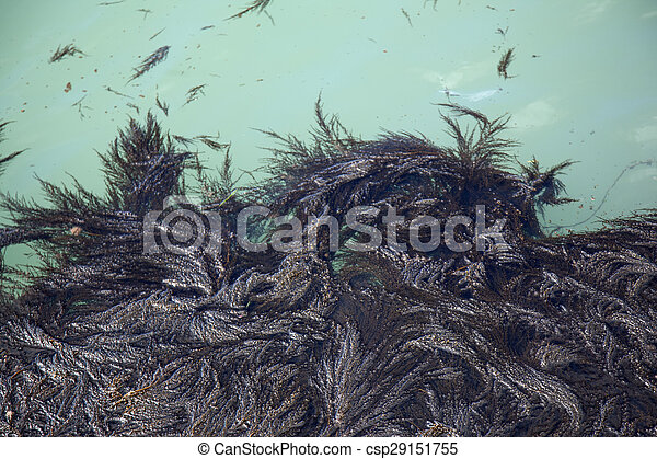Seaweed in Venice Lagoon, Italy - csp29151755