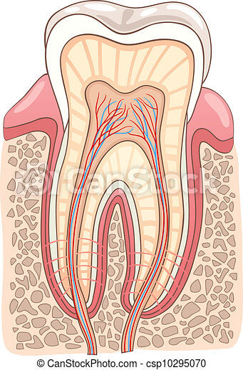 Ilustración médica de sección de dientes - csp10295070