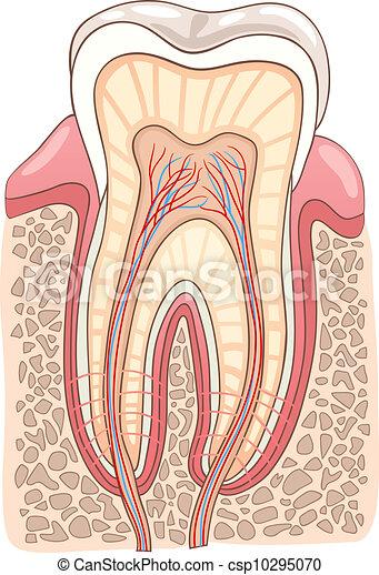 section, illustration médicale, dent - csp10295070