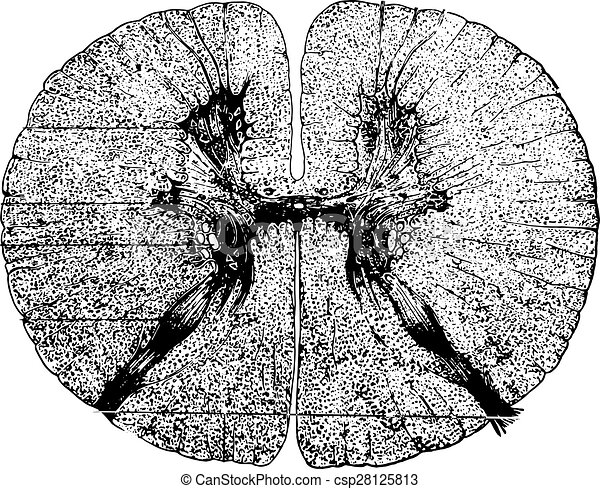 Section of the spinal cord, vintage engraving. - csp28125813
