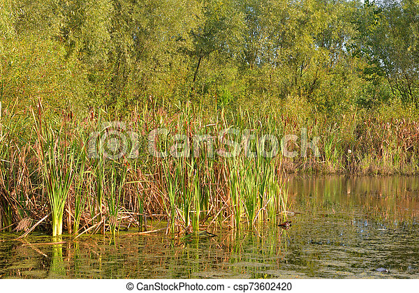 Sedge on the banks of a small river. - csp73602420