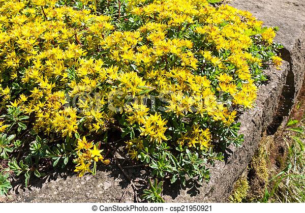 Sedum kamtschaticum russian stonecrop early spring yellow early spring yellow flowering groundcover plant stonecrop mightylinksfo