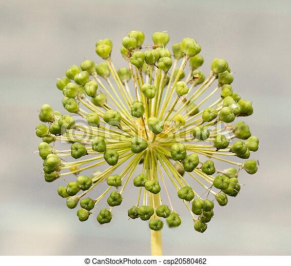 Seed Head of an Allium - csp20580462