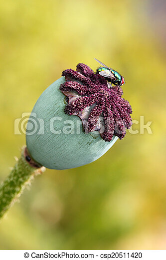 Seed pod of a poppy flower overblown seed pod of a poppy flower seed pod of a poppy flower csp20511420 mightylinksfo
