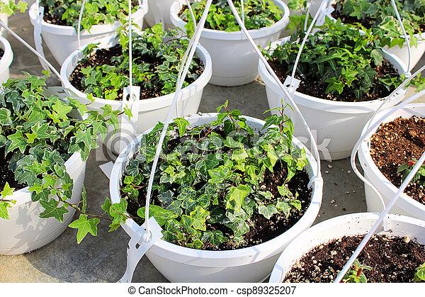 Seedling English Ivy plants growing in hanging pots - csp89325207