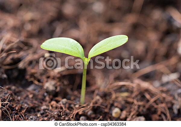 Seedling growing out of soil - csp34363384