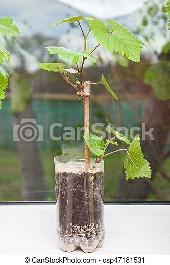 Seedling of a grapevine close-up - csp47181531