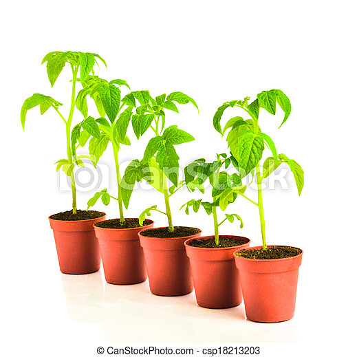 seedling of tomato plant in flowerpot is isolated on white background - csp18213203