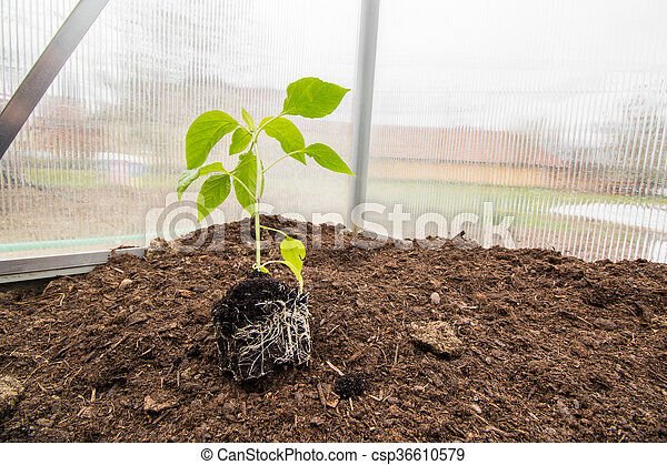 Marvelous Seedling Paprika Capsicum Peppers Plants With Root System In Small Greenhouse Interior Design Ideas Philsoteloinfo