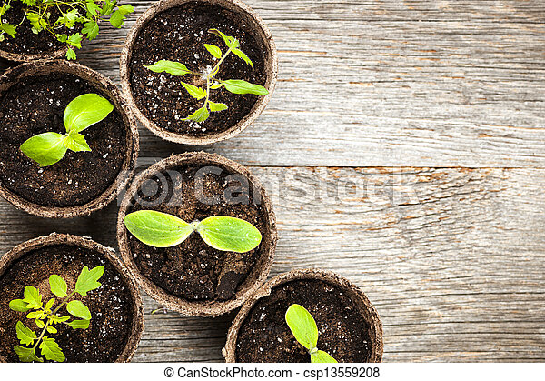 Seedlings growing in peat moss pots - csp13559208