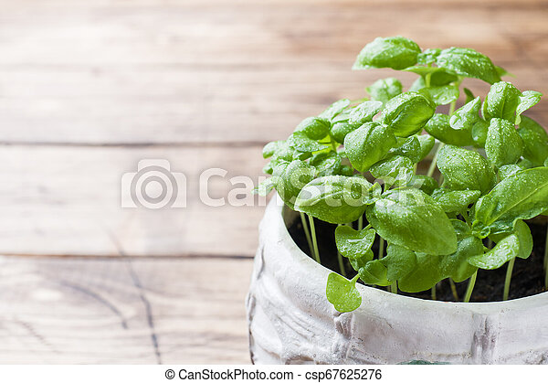 Seedlings of Basil in a ceramic pot. Green seedlings of fragrant grass, young plants, leaves and gardening. - csp67625276