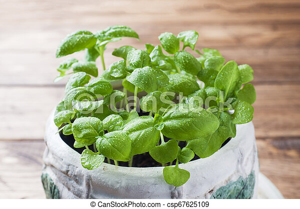 Seedlings of Basil in a ceramic pot. Green seedlings of fragrant grass, young plants, leaves and gardening. - csp67625109