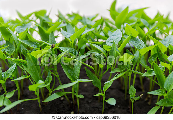 Seedlings of bell pepper close-up in selective focus - csp69356018