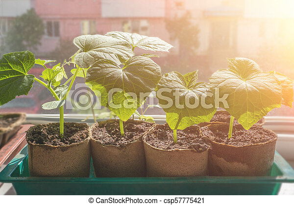 Seedlings of cucumbers are grown on the window for the city garden. - csp57775421