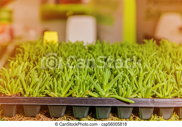 Seedlings of flowers and vegetables growing in foam containers in paper bags on the window in the ground on a Sunny day. Modern tendencies of cultivation of seedling for a city garden. - csp56005818