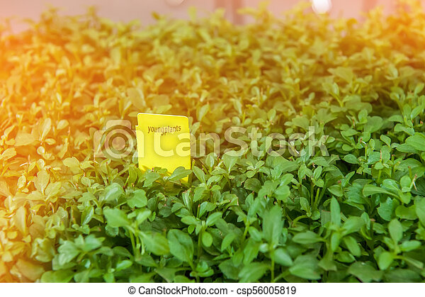 Seedlings of flowers and vegetables growing in foam containers in paper bags on the window in the ground on a Sunny day. Modern tendencies of cultivation of seedling for a city garden. - csp56005819
