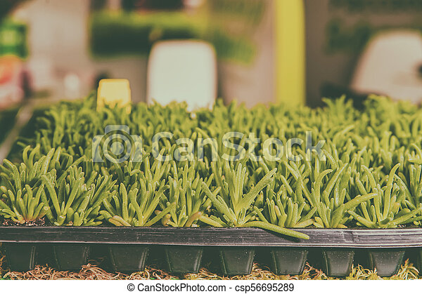 Seedlings of flowers and vegetables growing in foam containers in paper bags on the window in the ground on a Sunny day. Modern tendencies of cultivation of seedling for a city garden. Toned. - csp56695289