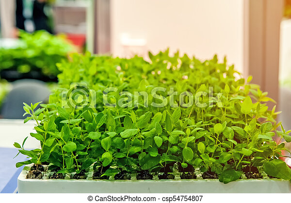 Seedlings of flowers and vegetables growing in foam containers in paper bags on the window in the ground on a Sunny day. - csp54754807