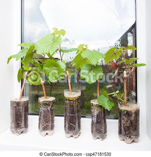 Seedlings of grapes in plastic pots - csp47181530