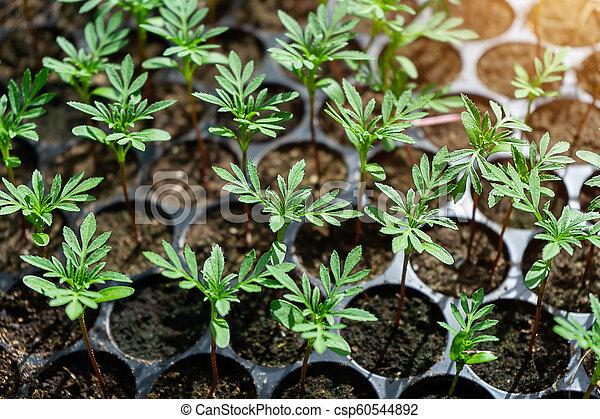 Seedlings Of Marigold Seedlings Of Marigolds For Planting