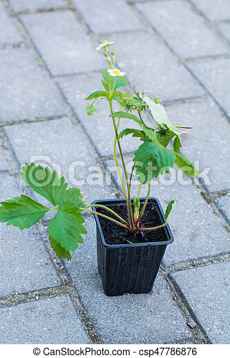 Seedlings of strawberry in plastic saucer - csp47786876