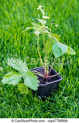 Seedlings of strawberry in plastic saucer - csp47786894