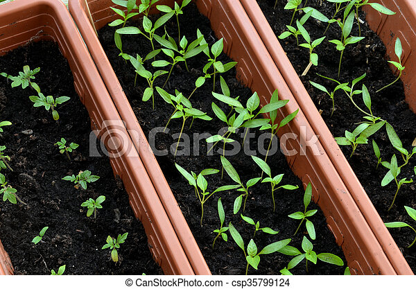 Seedlings of tomato and pepper planted in plastic pots - csp35799124