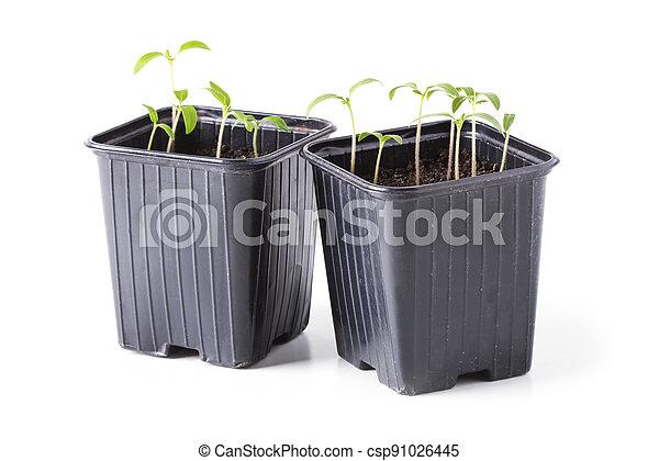 Seedlings of tomatoes in pots - csp91026445