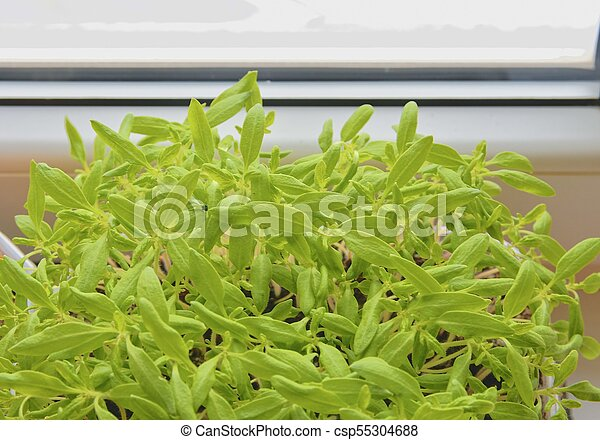 Seedlings of tomatos behind the window. Close-up - csp55304688