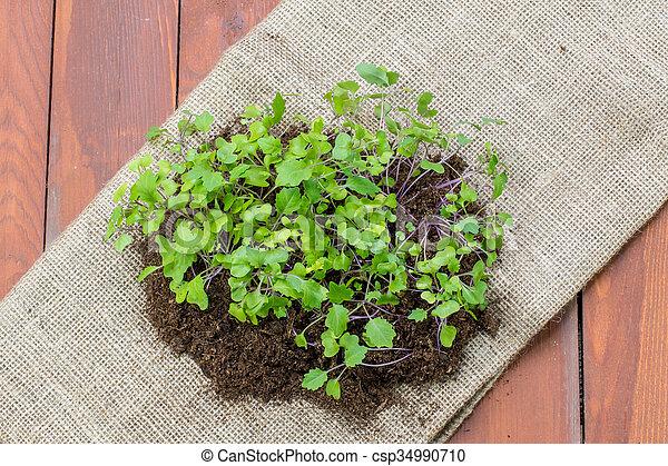 Seedlings Small Plants of Kohlrabi on Jute Sack - csp34990710