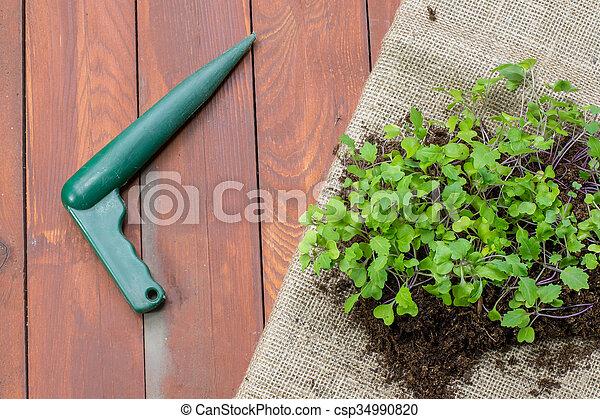 Seedlings Small Plants of Kohlrabi with Dibble - csp34990820