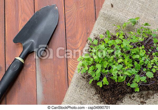 Seedlings Small Plants of Kohlrabi with Garden Trowel - csp34990701