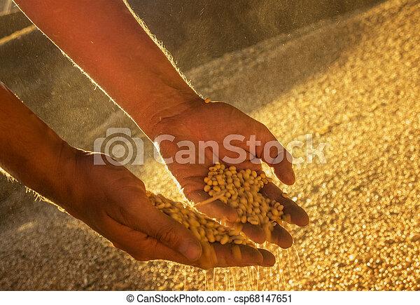 seeds., soya, mãos - csp68147651