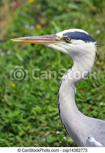 sehr reiher grau langer schnabel vogel