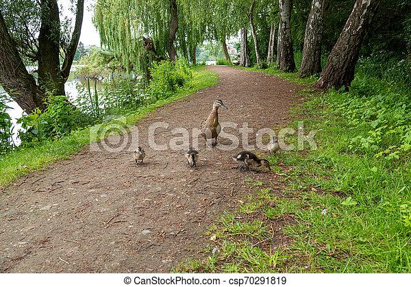 Sehr kleine Mallard-Entlein wandern den Weg entlang des Sees - csp70291819