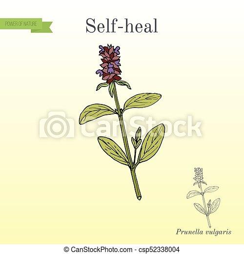Pasqueflower pulsatilla vulgaris , medicinal plant  hand