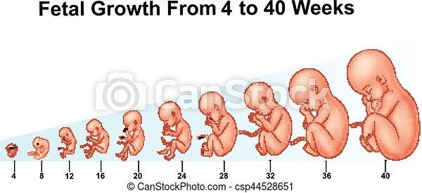 semanas crescimento 4 40 fetal ilustra o vetorial. Black Bedroom Furniture Sets. Home Design Ideas